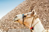 picture of the great pyramids  - Camel with the great Pyramid in background  - JPG