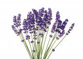 stock photo of lavender plant  - Lavender flowers isolated on a white background - JPG