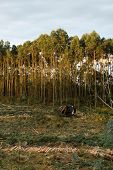 pic of eucalyptus trees  - Eucalyptus plantation and excavator - JPG