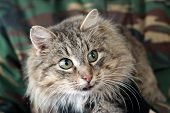 picture of kitty  - Beautiful tabby kitty cat is looking at camera - JPG