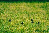 stock photo of shroom  - Small mushrooms on a lawn in the morning - JPG