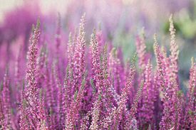 picture of violet flower  - Heather flowers - JPG