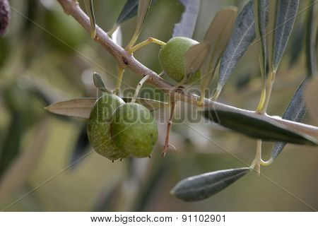Green olive on a branch