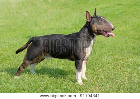 The Portrait Of Miniature Bull Terrier