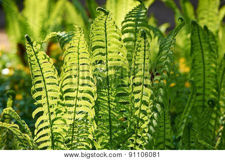 Young fern plants with back sunlight