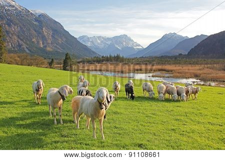 Idyllic Scenery With Grazing Sheep Flock, Bogland And The Alps