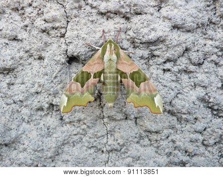 Sphinx Du Tilleul