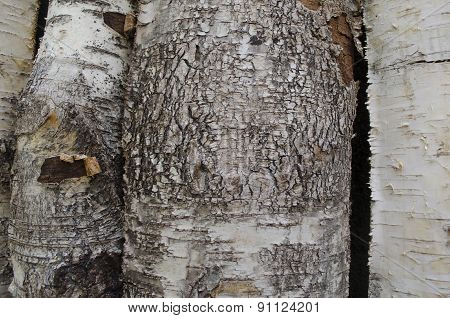 Dried birch bark.