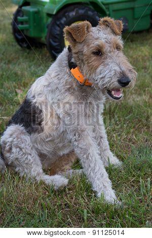 Fox Terrier On The Grass In A Garden Waiting