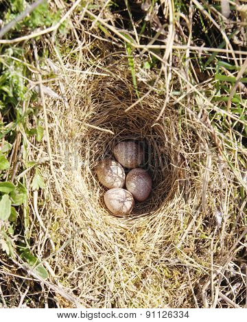 Four Woodlark Eggs In Nest  On Ground