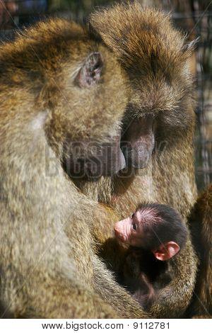 Baboon Monkeys With Baby