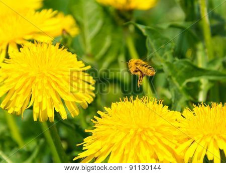 Pollen covered bee flying away from dandelion