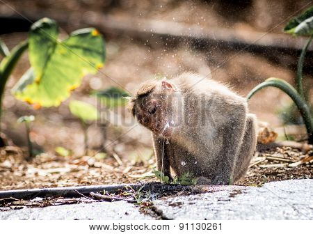 An Indian Macaque drinking water from leaky pipeline