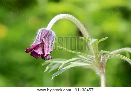 Nice pasque flower macro shoot