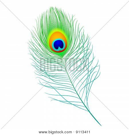 Peacock feather. Detailed portrayal.