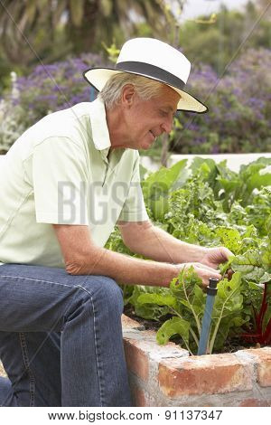 Senior Man Working In Vegetable Garden