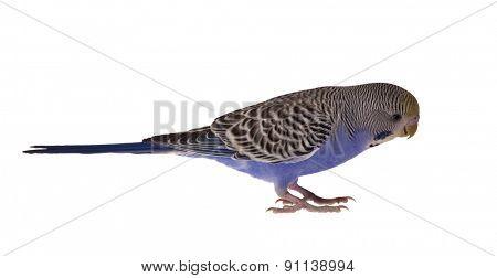dark blue budgerigar isolated on white background