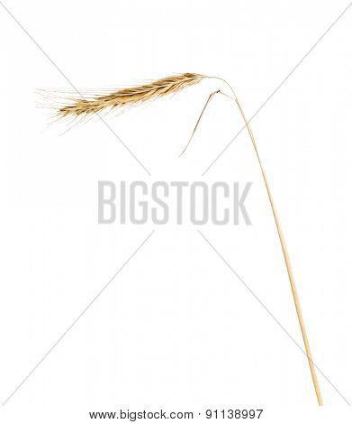 single ear of rue isolated on white background