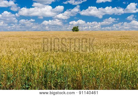 Summer landscape with wheat field and lonely tree