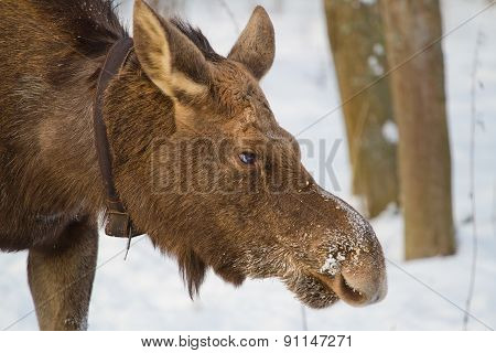 Elk Winter