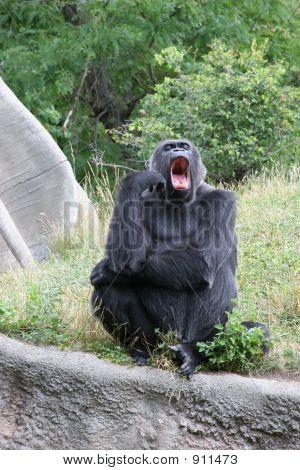Gorila bostezando