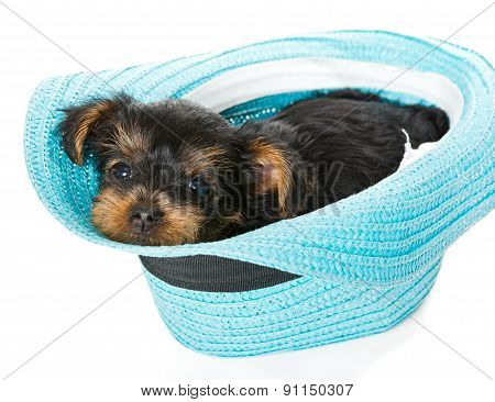 Small Yorkshire Terrier And Beach Hat