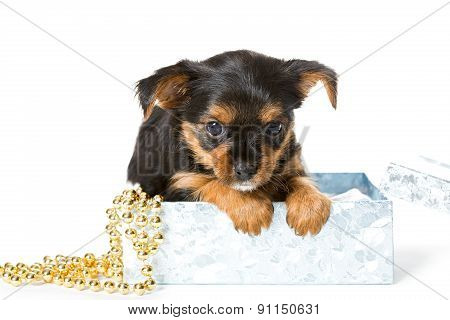 Yorkshire Terrier Puppy In Gift Box
