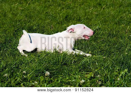 Bull Terrier seats.
