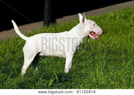 Bull Terrier stands.