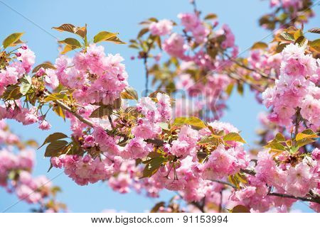 pink flower on tree, cherry blossom at spring closeup