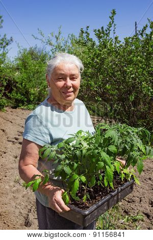 Female Senior Gardener Posing Seedlings Tomato