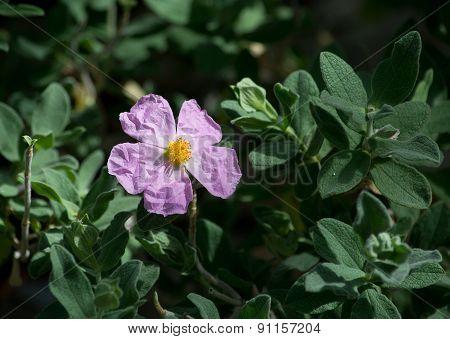 Pink rock rose