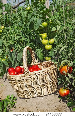Red Tomatoes In Wicker Basket