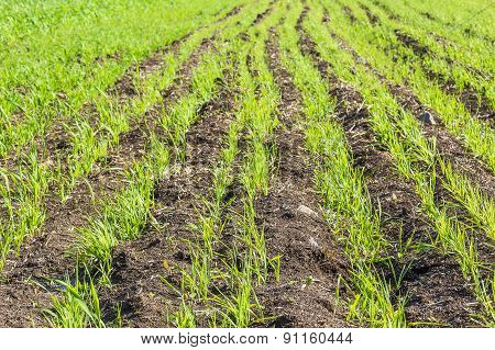 Green Sprouts Of Spring Wheat In The Field