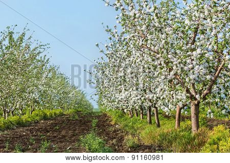 Blooming Apple Orchard In May Evening