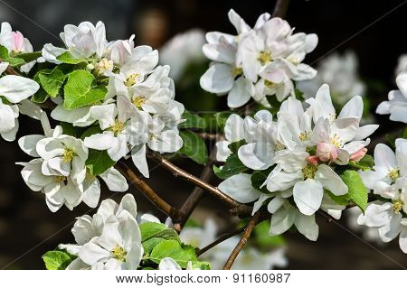 White Delicate Flowers Of Apple Trees Close-up