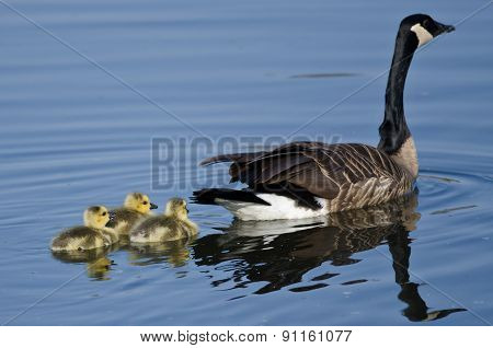 Three Adorable Little Goslings Swimming Behind Mom