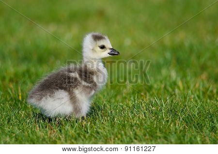 Adorable Little Gosling Looking For Food In The Green Grass
