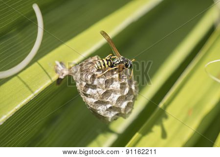 Wasp Creating A Nest  In A Palm Leaf