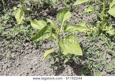 Sunflower Plant Growing