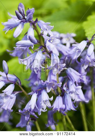 Closeup of Hybrid Bluebell flower