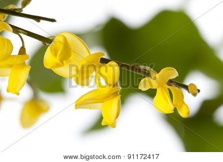 Macro shot of French Broom blossoms