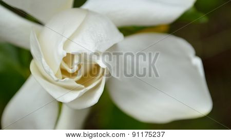 Gardenia Closeup Panorama, White And Green