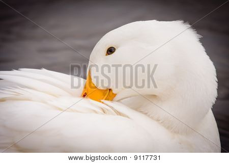 White Duck Preening Itself