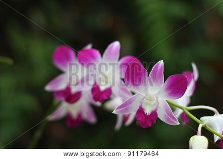 Orchid - The National Flower
