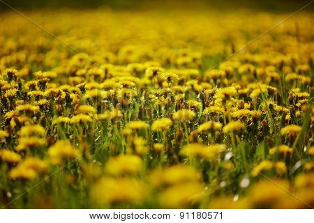 Dandelions meadow. Low DOF.