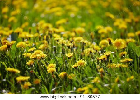 Dandelions meadow. Low DOF.