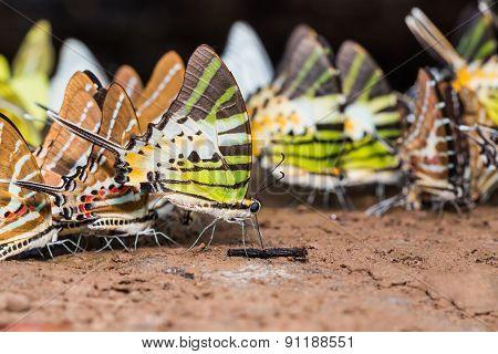 Swordtail Butterflies