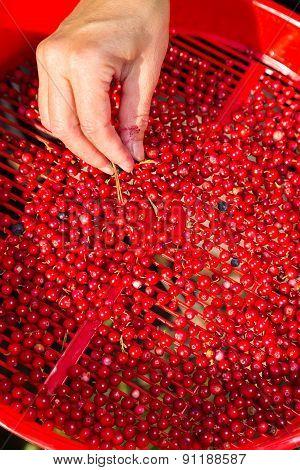 Cleaning Lingonberries