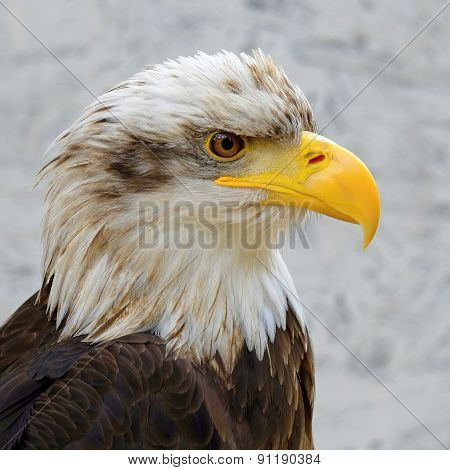 Detail Of Bald Eagle (haliaeetus Leucocephalus)